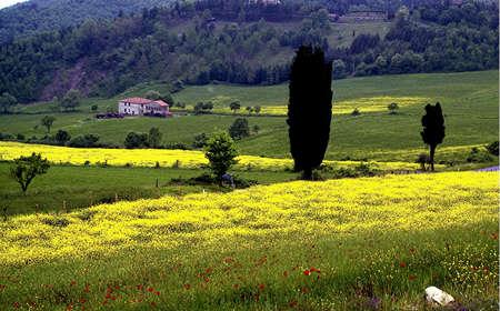 colza: campos de colza en el Mugello
