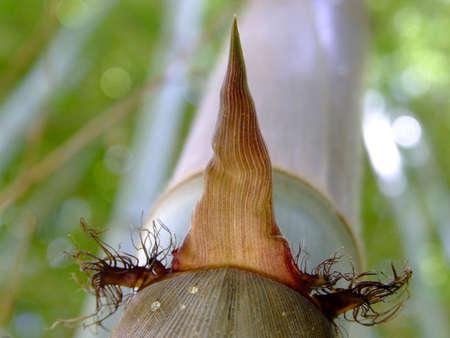 sheath: hairy sheath around a growing bamboo cane