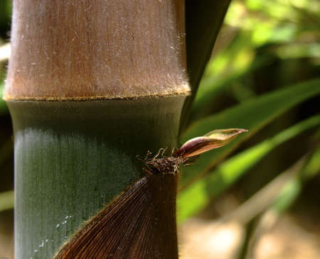 sheath: detail of a growing mountain bamboo
