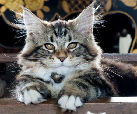 maine cat: gatito joven de Maine Coon Foto de archivo