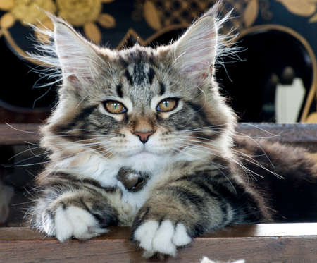 blotched: young kitten Maine Coon