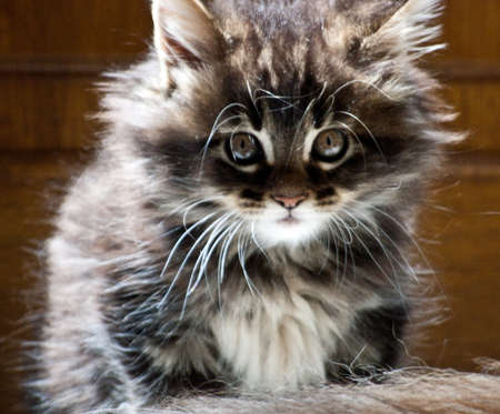 Cute Maine coon kitten photo