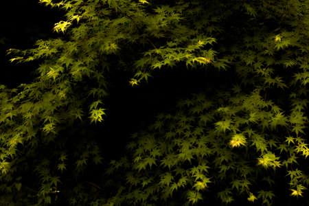 acer palmatum: acer palmatum japonicum in spring