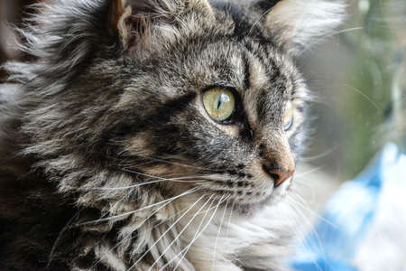 maine: young Maine Coon Stock Photo