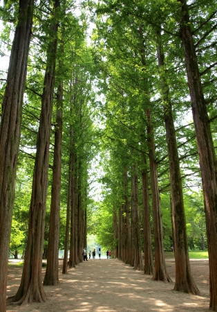 Two rows of trees at nami island , korea
