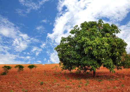 mango tree: Mango tree  Stock Photo