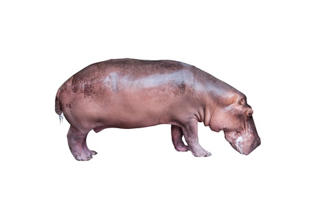 Hippopotamus isolated on white background photo