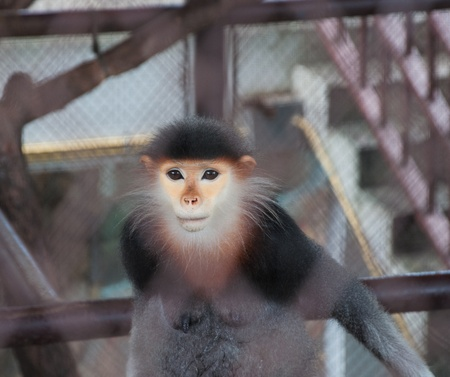 Leaf Monkey ,Red-shanked Douc. photo