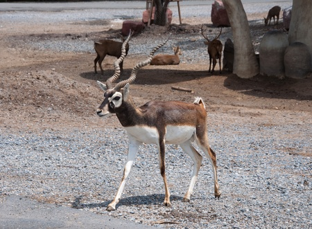 ruminants: Black Buck in zoo or safari of Thailand.