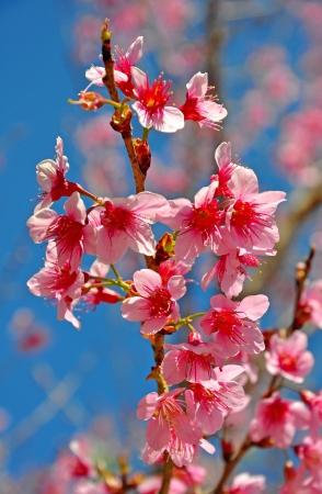 Thai sakura blooming during winter