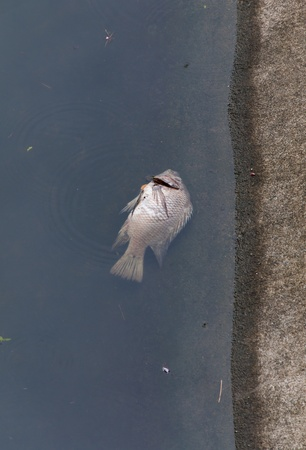 pollution water: Death fish and waste water.