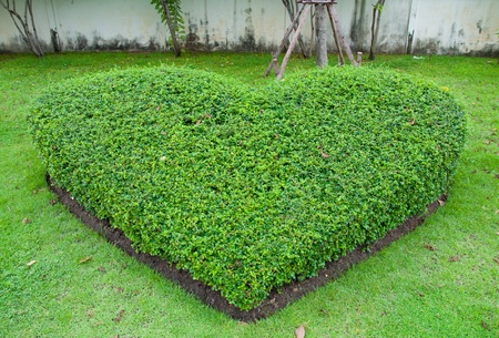 Decorate garden is a green heart. photo