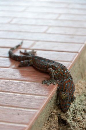 bugaboo: Dead gecko on the ground. Stock Photo