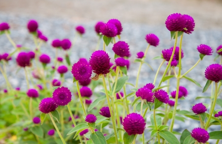 Pink globe amaranth. (gomphrena Globosa) photo