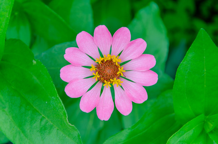 pink flower with green leaf background. photo