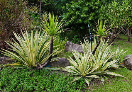 century plant: Century Plant (Agave) tree in natural sunlight. Stock Photo
