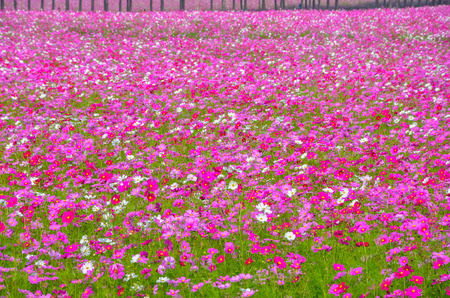 Cosmos colorful flower in the field. Stock Photo