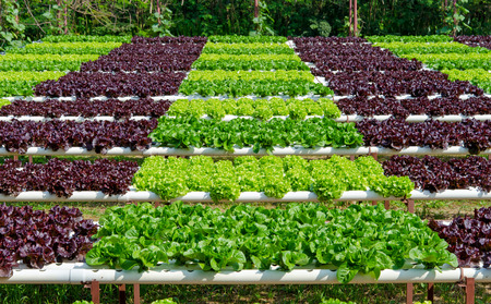 Organic hydroponic vegetable cultivation farm. Standard-Bild