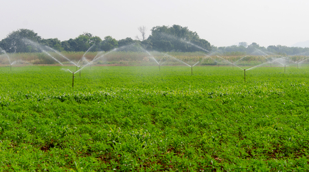 irrigate: morning view of a hand line sprinkler system in a farm field.