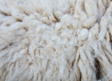 furry stuff: woolly sheep fleece for background.