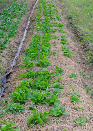 plots: Organic vegetable plots cultivation farm.