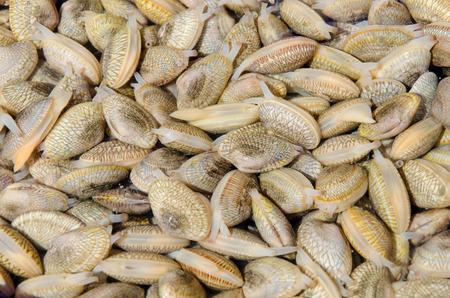 molluscs: Fresh Clams in market.