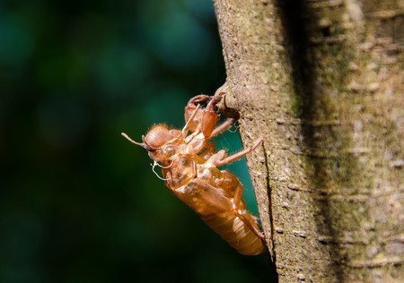cicada shell which leave on the tree. photo