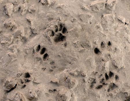huellas de perro: Huella de perro en el fondo piso de cemento.