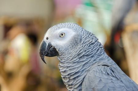 Portrait of African Gray Parrot.