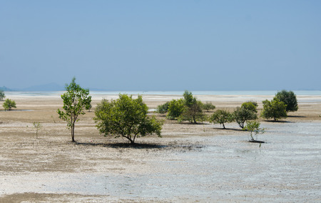 Mangrove trees and roots on the beach, Thailand photo