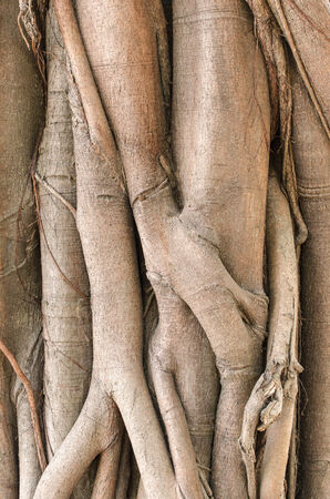 face in tree bark: Tree roots texture for background.