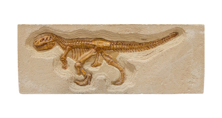 fossil record: dinosaur fossil model isolate on white background.