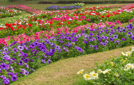 flower beds: Colorful of petunia flowers in garden.
