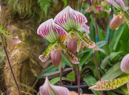 lady's slipper: ladys slipper orchid. (Paphiopedilum Callosum) Stock Photo