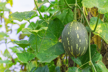 ash gourd: winter melon on its tree in garden.