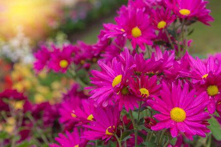 nuance: Beautiful Chrysanthemum flowers in garden.