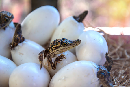 stuff of Little baby crocodiles are hatching from eggs. Standard-Bild