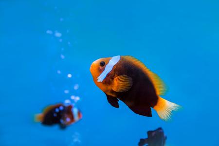 ocellaris clownfish: anemonefish underwater in blue water at aquarium. Stock Photo