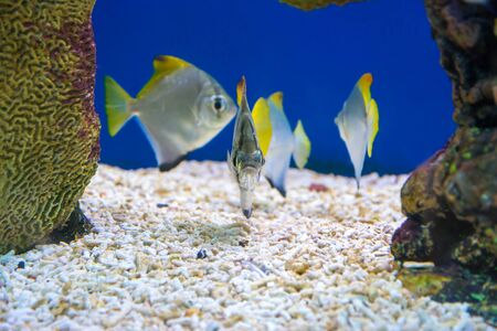 Tropical Fish of Schooling Bannerfish underwater in blue water.