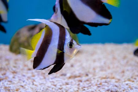 longfin: Tropical Fish of Schooling Bannerfish underwater in blue water.