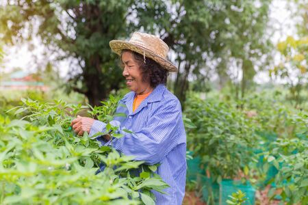 Senior farmer woman with picking chili from vegetable garden. Stock Photo