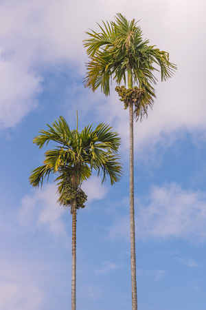 betel palm tree high with sky background.