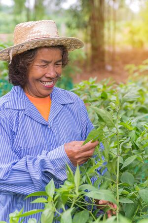 seasonal worker: Senior farmer woman with picking chili from vegetable garden. Stock Photo