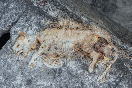 Carcass of dead cat with rotten skin on road.