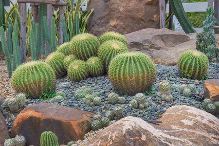 schönen großen Kaktus in den Steingarten. Standard-Bild