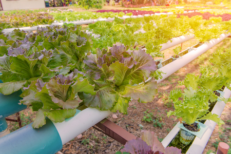 hydroponic: Organic hydroponic vegetable in the cultivation farm.