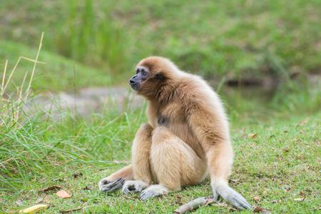 biped: White Cheeked Gibbon cute monkey sitting on green grass. Stock Photo