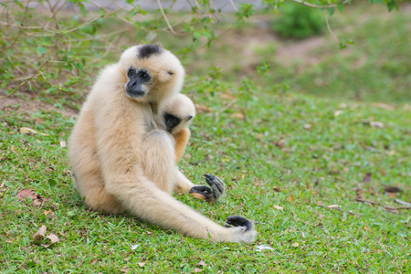White Cheeked Gibbon with baby gibbons sitting on green grass. Stock Photo