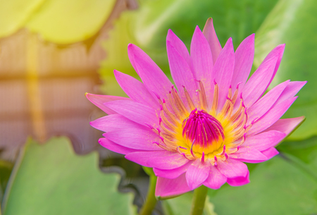 Pink lotus blossoms or water lily flowers in pond.