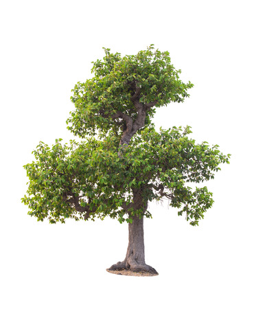 tree in summer isolate on white background. Stock Photo